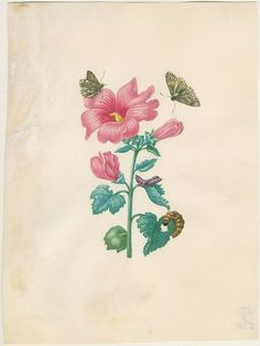 Watercolor Althaea rosea and Carcharodes alceae. Maria Sibylla Merian: Leningrader Aquarelle. Leipzig, 1974. Bd.2. S.191.