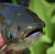 GRASS CARP — American Carp Society Grass Carp, Just Blinds, Common Carp, Koi Carp, Windy Day, Seed Pods, Carp Fishing, Freshwater Fish, Fresh Water