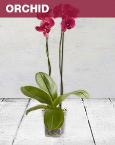 Orchids burst into a beautiful display of colour and arrangement and can keep its flowers for up to 3 months.