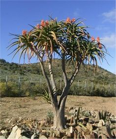 Aloe Barberae - Indigenous South African Succulent - 10 Seeds | Seeds for Africa