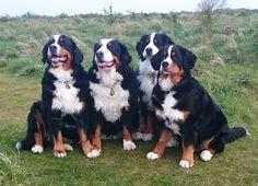 Bernese Mountain Dog feature #dogs #bernese