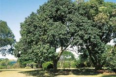 Natal Mahogany Uses:Monkeys feed on the flowers and baboon and antelope eat fruit. Local people soak seeds in water, which leave behind a milky substance, which is sometimes eaten with spinach. The seeds are also eaten by certain bird species. Oil extracted from the seeds is used cosmetically and also used to help heal bones.  Bark, which has been powdered down, is used as an emetic and an enema and may also be used to make a pinkish dye.