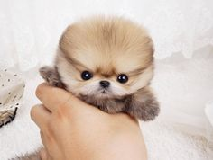 Boo puppy, micro Pomeranian, tiny teacup dogs, expensive dogs