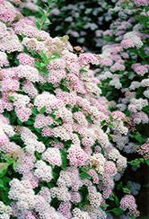 Click to view full-size photo of Little Princess Spirea (Spiraea japonica 'Little Princess') at Oakland Nurseries Inc
