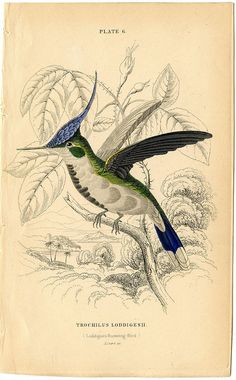 Loddiges hummingbird, trochilus loddigesii  Jardine's Natural History of Hummingbirds, v.1, 1834, lizars engraver