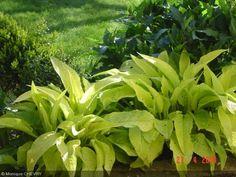 Symphytum ibericum 'All Gold' - Boraginaceae - Consoude dorée