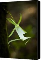Orchid Canvas Prints - Ghost Orchid  Canvas Print by Rich Leighton