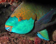 Snoozing Parrotfish Parrot Fish, Fish Fish, African Grey Parrot, Types Of Fish, Saltwater Aquarium, Wild Birds, Tropical Fish, Marine Life, Sea Creatures