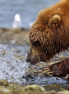 Bear in Alaska fishing for his food. Pin this photo if you wish you were having salmon for dinner! #Travel #Alaska