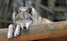 Let Me Be. Save the Wolves