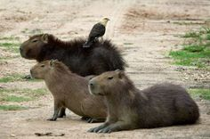 CHIGUIROS EN LOS LLANOS ORIENTALES Largest Countries, Countries Of The World, Central America, South America, Nevada National Parks, Spanish Speaking Countries, Andes Mountains, Capybara, Amazon Rainforest