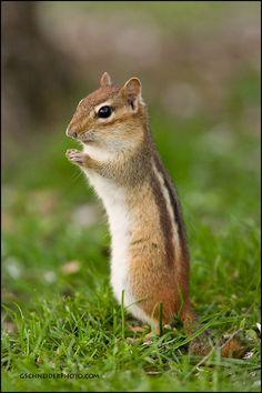 Eastern chipmunk alert pose by Greg Schneider