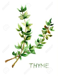 17664597-Thyme-watercolor-illustration-Stock-Illustration-herb.jpg (983×1300)