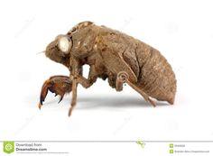 cicada shell tattoo - Google Search