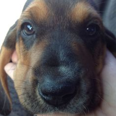 The new family member. Baby boy Bassett hound.