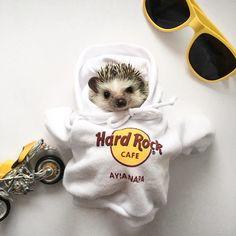 Facts About Hedgehog Pet