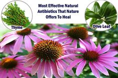 Nature has provided along the millennia, thousands of antibiotics and natural remedies. Most people probably don't know, but all pharmaceutical drugs have originated from Earth's plants. After they have proven effective in treating certain ailments, the pharmaceutical industry has created … Read More