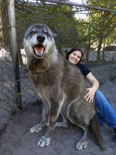 He is part grey wolf, part Siberian husky and German shepherd. Meet Yuki, the Wolf-dog. Source by nynnotv The post Meet Yuki, the Wolf-dog. appeared first on Calvert Kennels. Animals And Pets, Baby Animals, Funny Animals, Cute Animals, Giant Dogs, Big Dogs, Dogs And Puppies, Wolf Puppies, Large Dogs