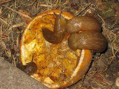 Natural slug control