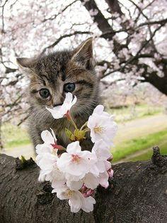 꽃향기를 좋아하는 냥이들~♥ #aUrdang #dicadong 黄金のコラボ! 桜と猫の美しすぎる画像集 - 〓 ねこメモ 〓