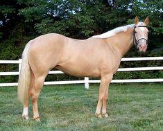 arabian thoroughbred bay color | pour comparer , un palomino, regardez la peau :