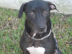 Mikey - Mikey is about 2 1/2 years. He was rescued after his owner passed away suddenly. He would do best in a home with smaller dogs. He is a little shy at first but don't take long for him to come out of his shell. He loves playing with his ball.  Fenced yard required.  (http://wwpetrescue.org/pet/mikey/)