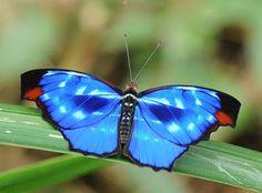 Orsis Bluewing (Myscelia orsis)