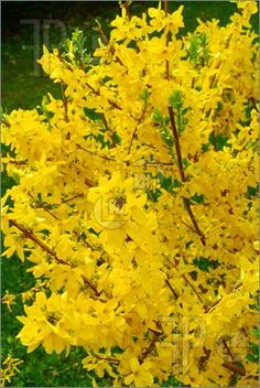 Beautiful Forsythia.. way too hot in south TX but I grew up with this in Tulsa and it's beautiful.