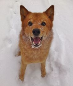 My finnish spitz is kinda happy about the  ...