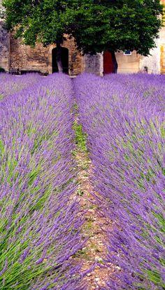 Lavender field (Provence, France) by CorkBilly