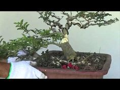"▶ Bonsai- good idea at the end of this video to plant into a plastic ""colander