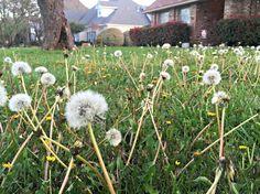 Botanicals | Dandelions | XLT Homestead | The XLT Homesteader