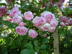 jasmina rose
