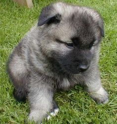 NORWEGIAN ELKHOUND PUPPIES. HOW CUTE IS THIS CREATURE? ...........click here to find out more http://googydog.com