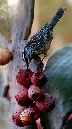 Arizona's official state bird: Cactus Wren photo from tucson com Arizona Daily Star.