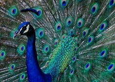 Indian Peacock | 22 Colorful Animals Who Look Too Beautiful To Be Real
