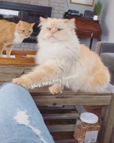 Funny Cute Cats, Cute Cat Gif, Cute Funny Animals, Cute Animal Videos, Funny Animal Pictures, Beautiful Cats, Animals Beautiful, Kittens Cutest, Cats And Kittens