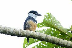 Macuru-de-barriga-castanha (Notharchus swainsoni)