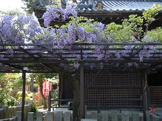 We have some friends who have a covered patio and they have Wisteria over the top like this one.