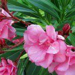 A csodaszép leander titkai – Balkonada Plants, Plant, Planets