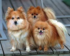 I had one like this growing up.  Holly, my first dog!  Red Pomeranians.  She looked like a fox.
