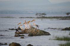 Pelicans, Lake Langano, Ethiopia.