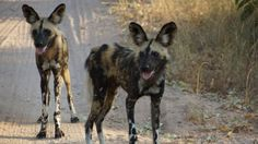 African wild dogs in South Africa. #WildDogs #LionWorldTales #DidYouKnow #FunFacts #Safari #Africa