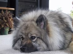 Keeshond <3 Love. When I was little we had a dog named Britches JUST like this one. I want one so bad.
