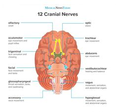 The 12 cranial nerves are a group of nerves that start in the brain and provide motor and sensory functions to the head and neck. Each has a different function for sense or movement. Cranial Nerves List, Cranial Nerves Function, Cranial Nerves Anatomy, Nerve Anatomy, Brain Anatomy, Medical Anatomy, Human Anatomy And Physiology, Anatomy Bones, Anatomy Art
