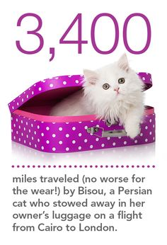 Bisou the Persian cat traveled 3,400 from Cairo to London in her parent's luggage!