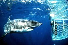 Go shark cage diving