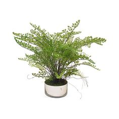"24"" Maidenhair Fern in Bowl - Faux ($99) ❤ liked on Polyvore featuring home, home decor, floral decor, green bowl, artificial arrangement, handmade home decor and green home decor"