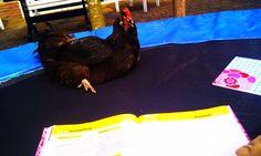 """""""Lig ik op de trampoline te leren, komt er ineens een kip naast me chillen"""""""