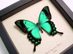 butterflies pictures | ... butterflies, framed insects, exotic butterfly, free butterfly pictures